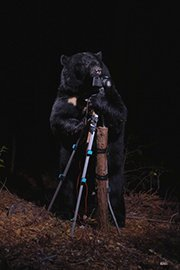 Photo of Black Bear Plays with Camera