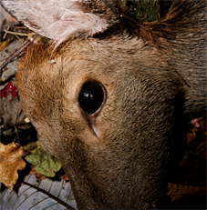Photo titled A Deer Shot Dead, November 2009, Kamaishi, Iwate, taken by Masaru Tatsuki